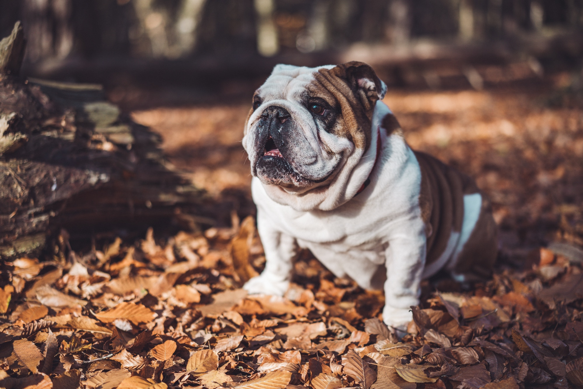english bulldog autumn leaves